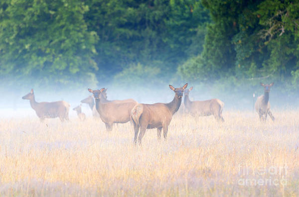 Elk Herd Photograph - Concealed By The Fog by Mike Dawson