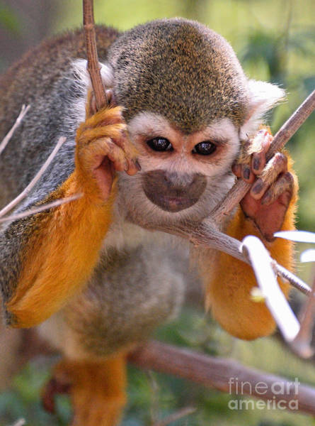 Squirrel Monkey Wall Art - Photograph - Concentration by Jim Chamberlain