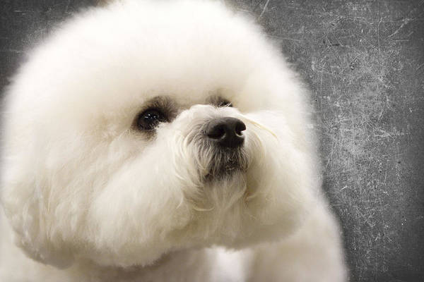 Bichon Wall Art - Photograph - Concentration by Rebecca Cozart