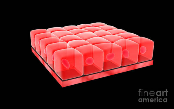 Digital Art - Conceptual Image Of Simple Cuboidal by Stocktrek Images