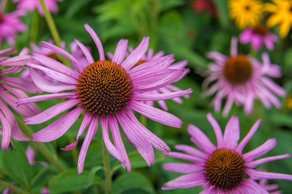 Photograph - Cone Flower 7k01920 by Guy Whiteley