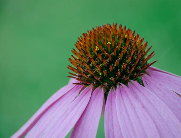 Photograph - Cone Flower by Jennifer Kano