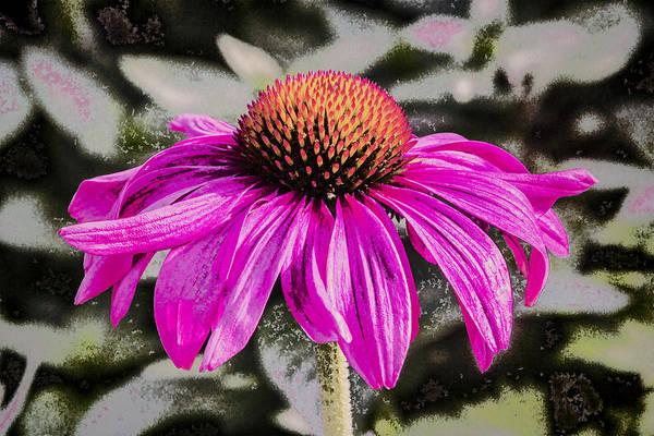 Digital Art - Cone Flower by Photographic Art by Russel Ray Photos