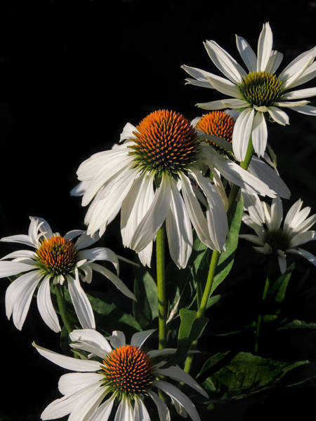 Photograph - Cone Flowers by Robert Mitchell