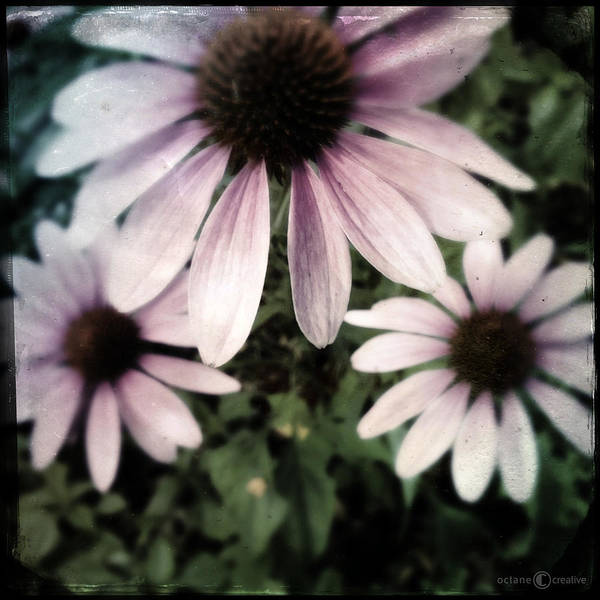 Photograph - Cone Flowers by Tim Nyberg