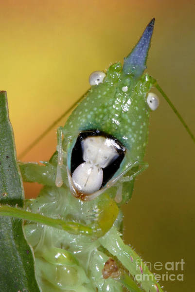 Photograph - Cone-head Grasshopper by Francesco Tomasinelli