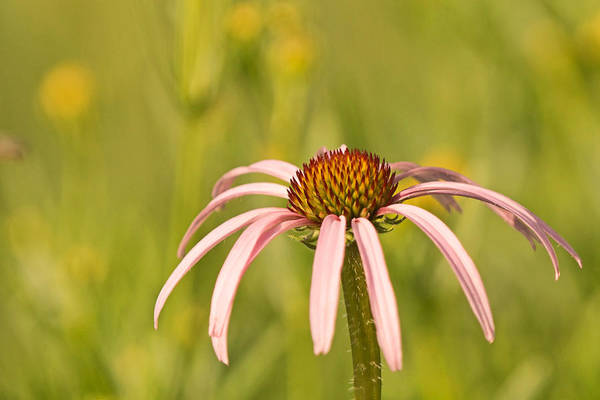 Photograph - Coneflower In The Sun by Theo OConnor