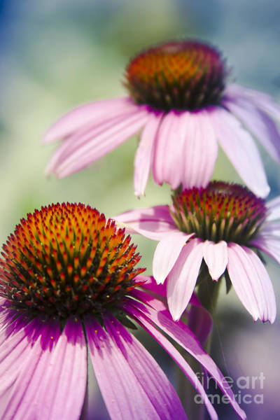 Photograph - Coneflower Jewel Tones - Echinacea by Sharon Mau