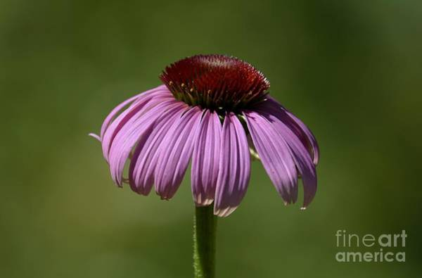 Photograph - Coneflower by Randy Bodkins