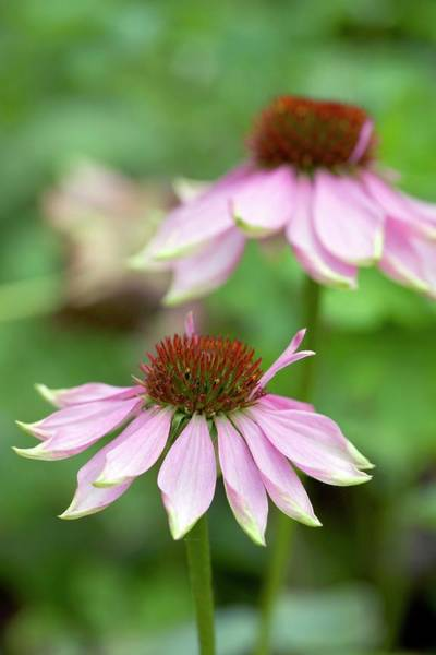 Asteraceae Wall Art - Photograph - Coneflowers (echinacea Sp.) by Rachel Warne/science Photo Library