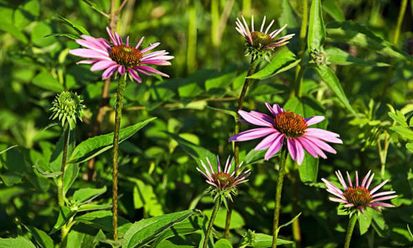 Photograph - Coneflowers In The Dells Panorama by Theo OConnor