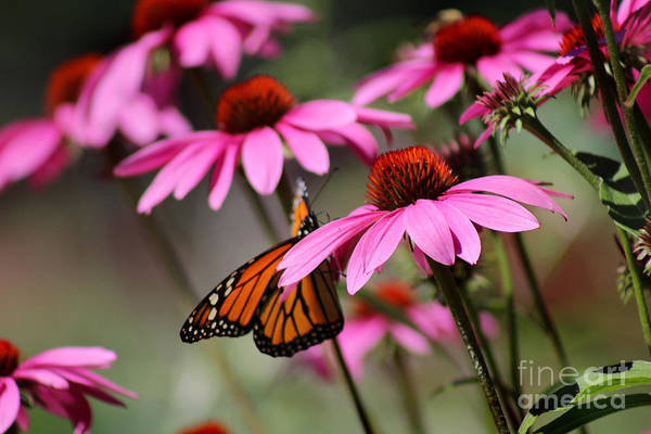 Photograph - Coneflowers With Monarch Butterfly by Karen Adams