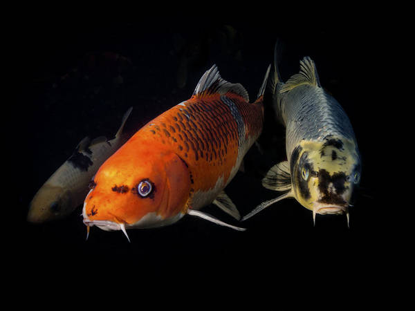 Ornamental Fish Photograph - Confrontation Of 3 Koi by Jean Noren