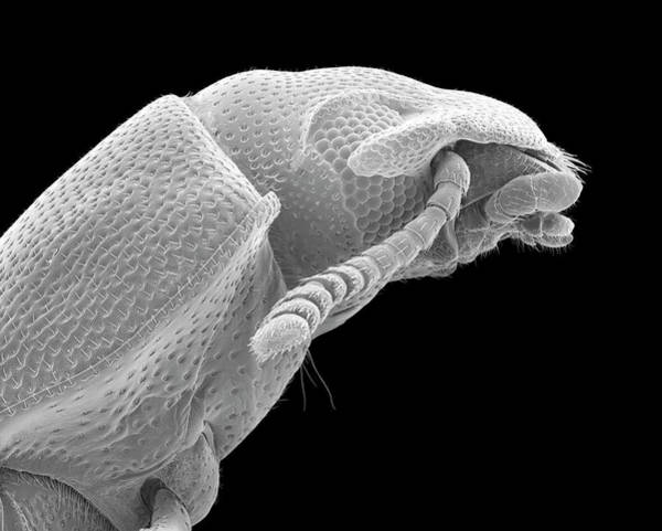 Tenebrionidae Wall Art - Photograph - Confused Flour Beetle Adult by Dennis Kunkel Microscopy/science Photo Library