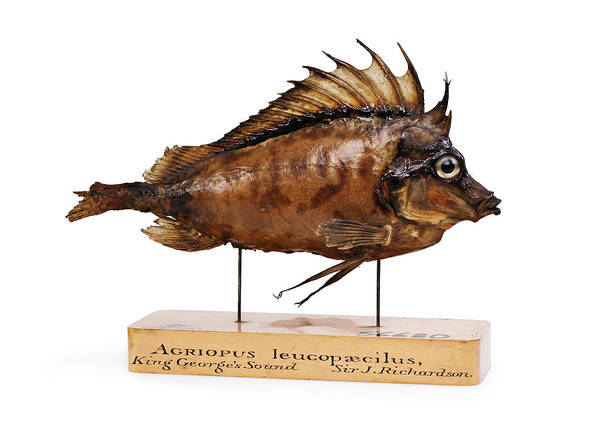 Antarctic Photograph - Congiopodus Leucopaecilus Fish by Natural History Museum, London