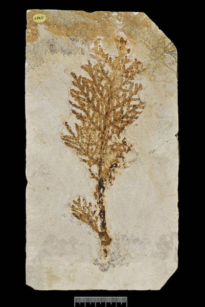 Wall Art - Photograph - Conifer (brachyphyllum Princeps) Fossil by Natural History Museum, London/science Photo Library