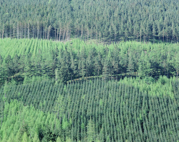Forestry Photograph - Conifer Plantation by Martin Bond/science Photo Library