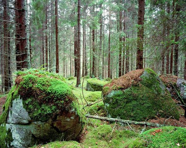 Coniferous Tree Photograph - Coniferous Forest by Bjorn Svensson/science Photo Library