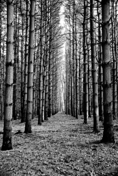 Photograph - Coniferous Forest by Louis Dallara