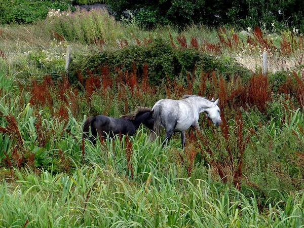 Photograph - Connemara Ponies by Keith Stokes