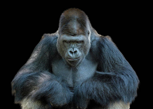 Close Up Photograph - Contemplative Gorilla by Dean Fikar