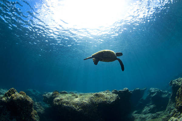 Turtle Photograph - Contemplation by Sean Davey