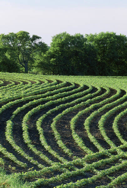Contour Planted Field Of Young Soybeans (glycine Max). Art Print by Inga Spence