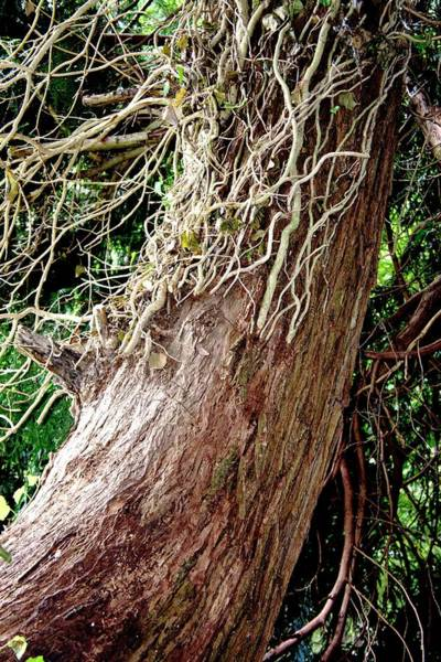 Climbing Vine Photograph - Controlling English Ivy by Sheila Terry