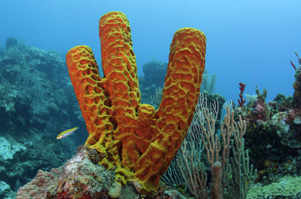 Ambergris Caye Photograph - Convoluted Barrel Sponge (aplysina by Pete Oxford