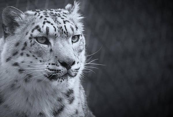 Photograph - Cool Leopard by Chris Boulton