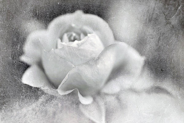 Photograph - Cool Rose by Annie Snel