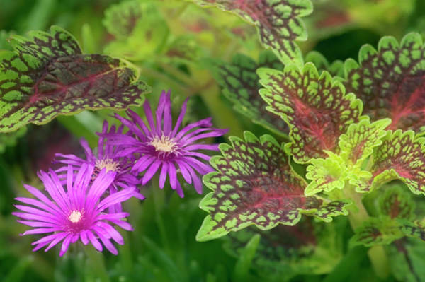 Wall Art - Photograph - Cooper's Hardy Ice Plant by Maria Mosolova/science Photo Library