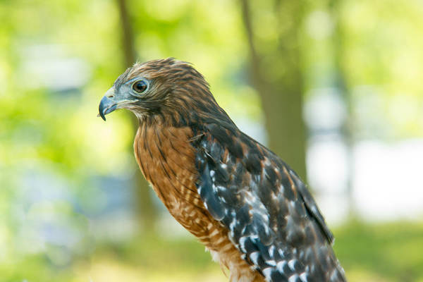 Falconiformes Photograph - Coopers Hawk 1 by Douglas Barnett