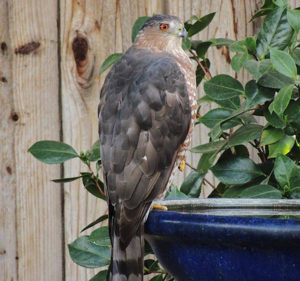 Photograph - Coopers Hawk 1 by Helen Carson