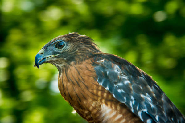 Falconiformes Photograph - Coopers Hawk 2 by Douglas Barnett