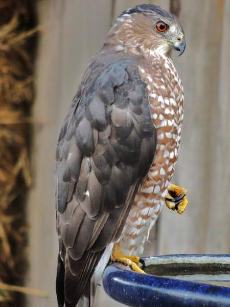 Photograph - Coopers Hawk 2 by Helen Carson