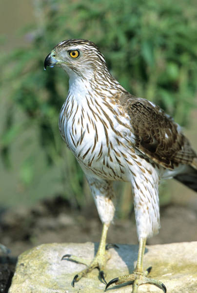 Brown County Photograph - Cooper's Hawk (accipiter Cooperii by Richard and Susan Day