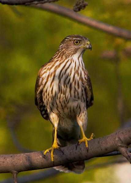 Photograph - Coopers Hawk by David Armstrong