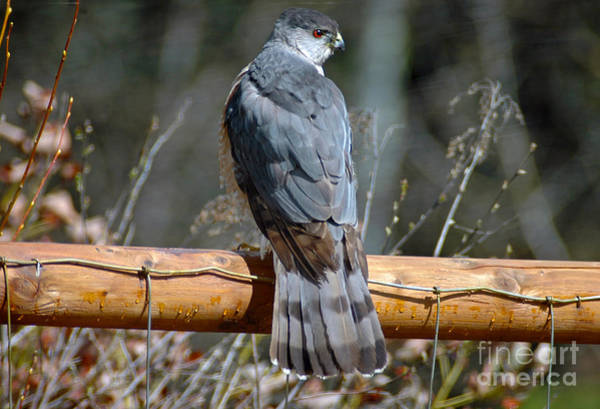 Photograph - 514p Cooper's Hawk by NightVisions