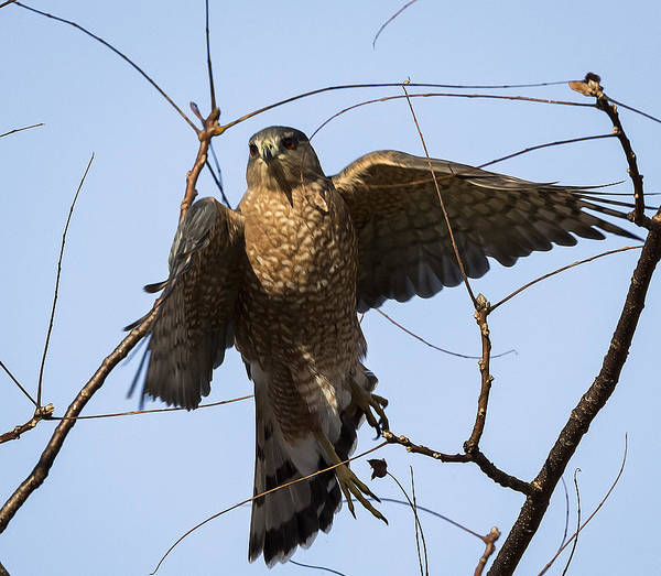 Photograph - Cooper's Hawk Taking-off by Ricky L Jones