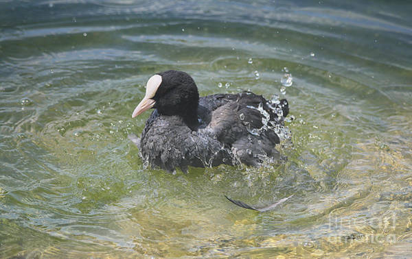 Photograph - Coot Bathing by Jutta Maria Pusl