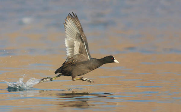 Taking Off Photograph - Coot by Zahoor Salmi
