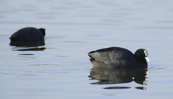 Hessen Photograph - Coots by Andy-Kim Moeller