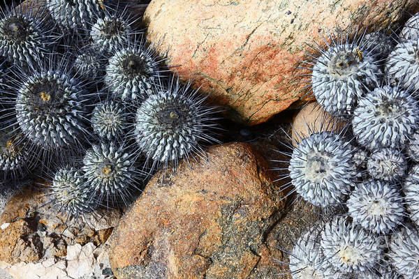 Photograph - Copiapoa Cacti Chile by James Brunker