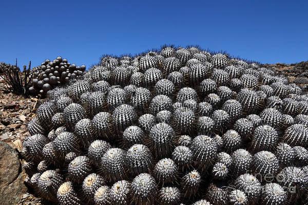 Photograph - Copiapoa Cacti by James Brunker