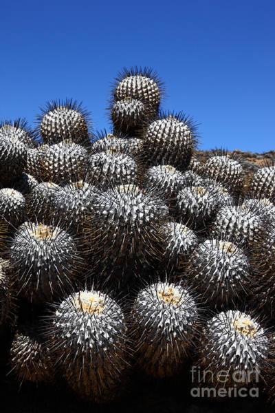 Photograph - Copiapoa Cactus Plants by James Brunker