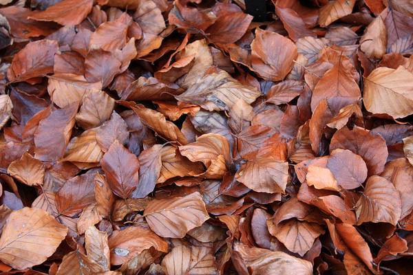 Photograph - Copper Beech Leaves by Gerry Bates