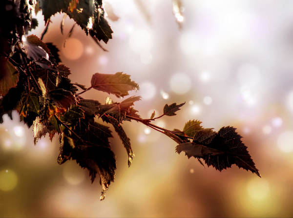 Photograph - Copper Birch by Valerie Anne Kelly