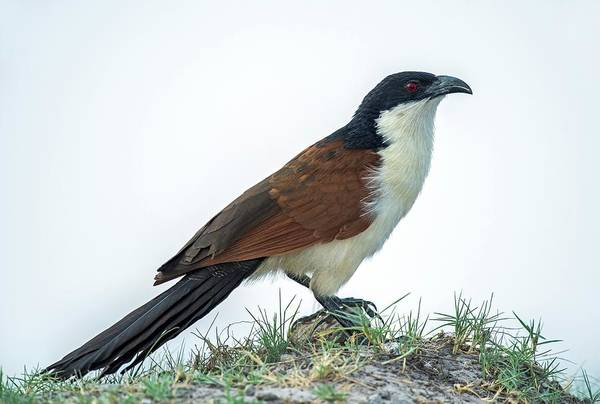 Cuculidae Photograph - Coppery-tailed Coucal by Tony Camacho/science Photo Library