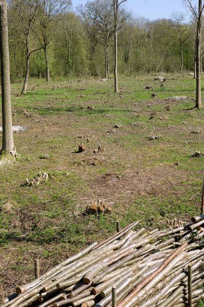 Coppice Photograph - Coppice Woodland by Dr Jeremy Burgess/science Photo Library